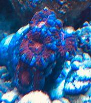 Acanthastrea - Micromussa Korallen Ableger Meerwasser