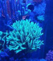 Seriatopora caliendrum SPS Korallen Ableger