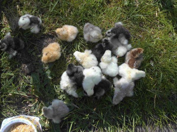Bruteier bunte Zwergseidenhühner sowie gelockte