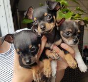 Drei Chihuahua Mini Rehpinscher Mix