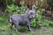 Französische Bulldoggen lilac
