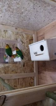 pfirsichköpfchen Papageien