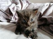 BKH Kitten 4 Stück
