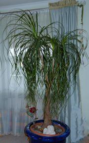 Elefantenbaum Palme ca 1 75