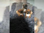Boxer 2 Weibchen und 2