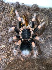 Vogelspinnen Poecilotheria Lampropelma Spinnen
