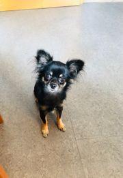 Suche Chihuahua Deckrüden
