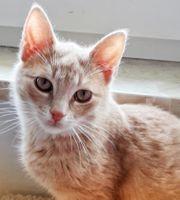 Rote Siam-mix katzenbaby abzugeben