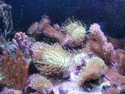 Korallenableger für 5-15euro