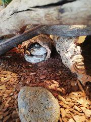 Kornnattern Schlangen mit Terrarium