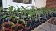 Tomaten Chilli Gukenpflanzen BIO