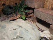 Leopardgeckos Terrarium zu verkaufen