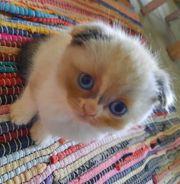 Scottish Fold Kitten Katzen BKH
