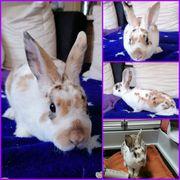 Kaninchen Hoppel 1 Jahr geimpft