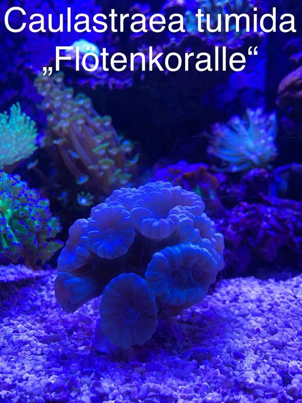 Caulastraea tumida Flötenkoralle Korallen Meerwasser