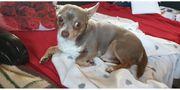 Deckrüde Chihuahua Lilac Tan