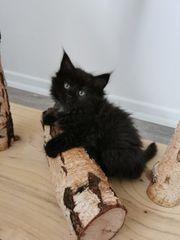 Reinrassige Maine Coon Katze Kätzchen