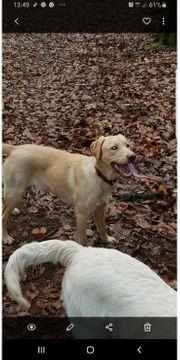 Labrador Weibchen zu Verkaufen