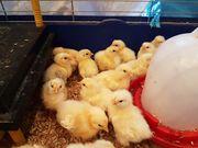 Küken große Sundheimer Hühner