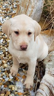 Goldene Labradorwelpen