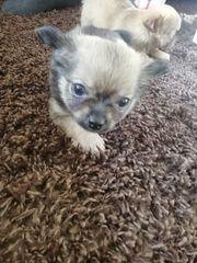 Noch ein wunderschöner Chihuahua Welpe