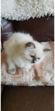 Erstaunliche Ragdoll-Kätzchen brauchen ein neues