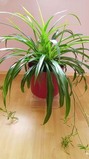 Große gesunde Grünlilie ohne roten