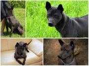 Thai Ridgeback Hundewelpen zum Verkauf