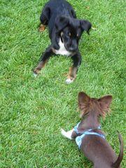 Welpenkurse - Hundeschule Amperland