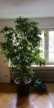 Ficus benjamini Birkenfeige