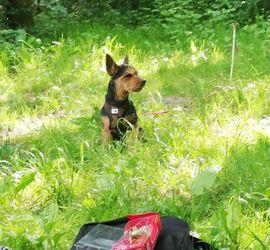 Yorkshire Terrier (sucht Weibchen )
