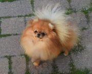 Pomeranian Welpen zwergspitz