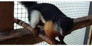 Schönhörnchen Rafflesi