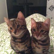 Bengal Katzen Brüder
