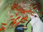 Goldfische Schleierschwänze 100 Stück - 150