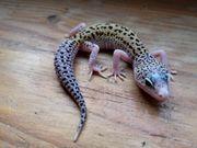 Leopardgecko Nachzucht
