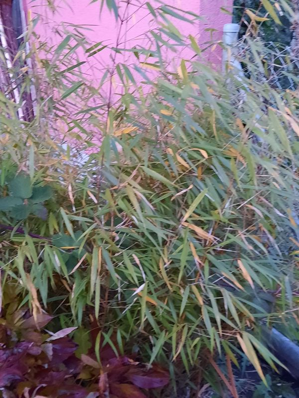 Pflanze chinesischer Zwergbambus