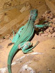 Blauen Leguan