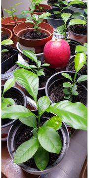 Ich verkaufe Apfelpflanzen für 1