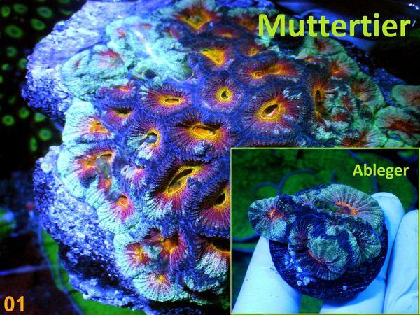 Korallen LPS SPS Weiche und