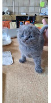 BKH Kitten scottischfold