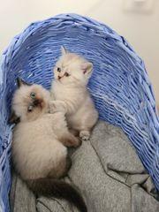Reinrassige BKH Kätzchen warten auf