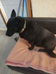 Brafe Labradormix Hündin 6 Jahre
