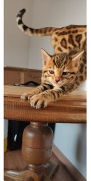 Sehr Schone Bengal-Katzenbabys