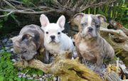 Franzödische Bulldogge Welpen mit Nase
