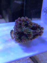 Korallen aus eigener Zucht