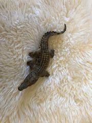 Verkaufe Schleich Krokodil in einen