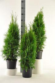 8 Stück Thuja Smaragd Lebensbaum