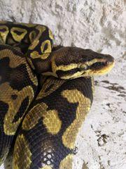 Python regius Pastel 0 1