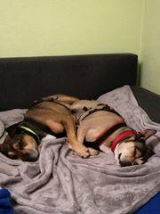 Boxer Ratero Mischlings Paar